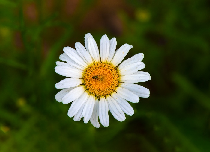 a fly resting on a wild daisy flower