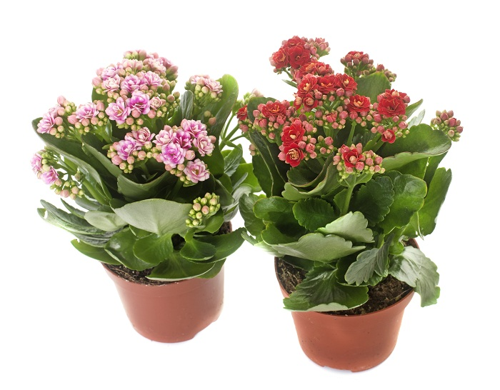 two Kalanchoe in front of white background