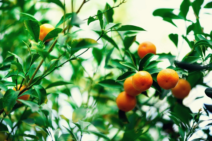 Orange tree with whole fruits. Fresh oranges on branch with green leaves, sunlight effect. Summer concept. Copy space.