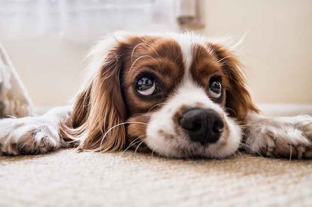 what to expect when treating a dog with cancer with prednisone